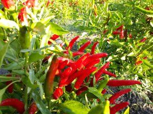 coltivazione_peperoncini_piccanti_sardegna